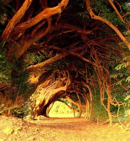 Yew Trees on The Road in Wales