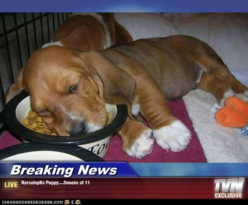 Breaking News - Narcoleptic Puppy....Snooze at 11
