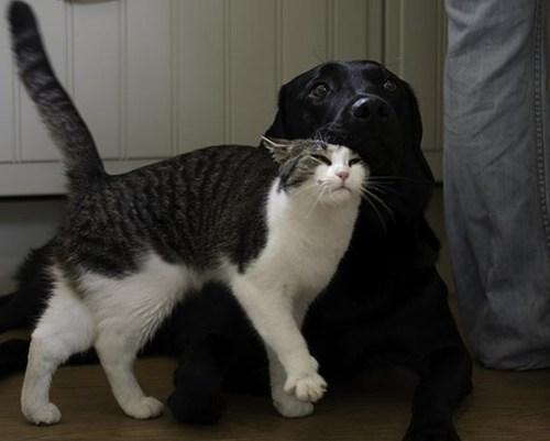dogs,cat,kittehs r owr friends,stroke,cuddles,friends