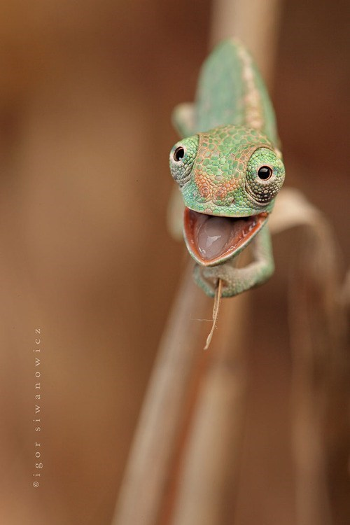open mouth,chameleon,lizard,cheery,squee,flies,delightful insurance