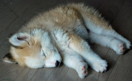 dogs,puppy,cyoot puppy ob teh day,golden retriever mix,husky mix,sleeping