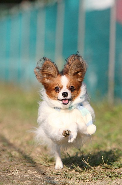 dogs,papillon,goggie ob teh week,frolicking,scarf