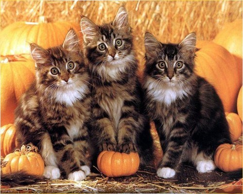 Meowloween Kittehs of teh Day: We iz Reddy 4 teh Punkin Karving!  And teh Pie!