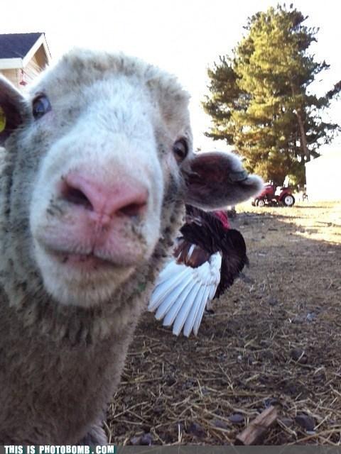 animals,sheep,hi there