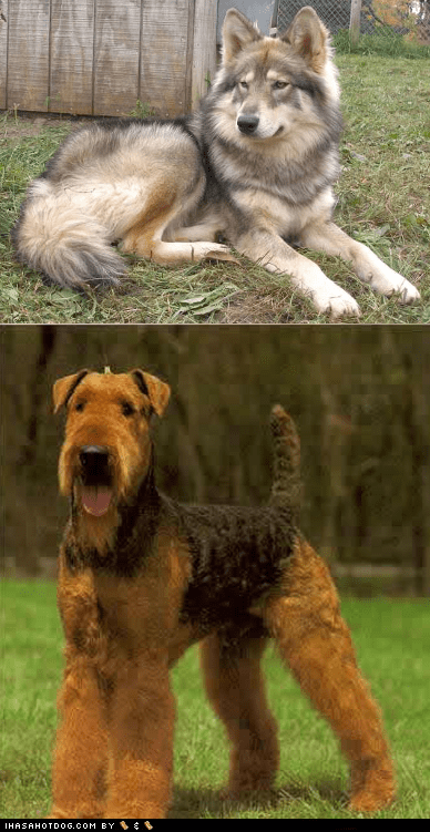 Goggie ob teh Week FACE OFF: Native American Indian Dog vs. Airedale Terrier