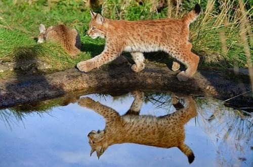 Lynxing Along