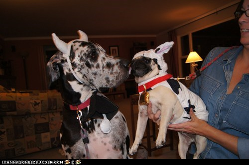 #3 - Bartlett and Anjou as Cows
