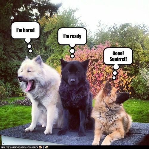 dogs,german shepherd,distracted,squirrel,photoshoot