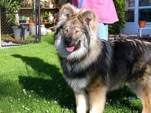 dogs,Native American Indian Dog,goggie ob teh week,winner,poll,results