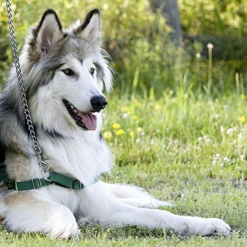 dogs,Native American Indian Dog,goggie ob teh week,reborn