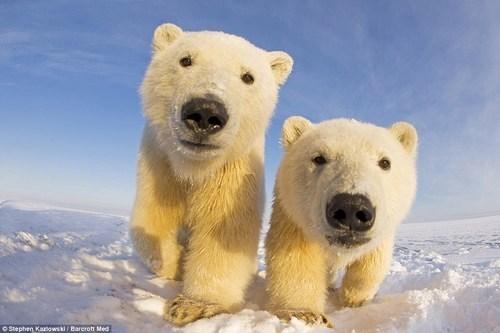 snow,bears,polar bears,squee