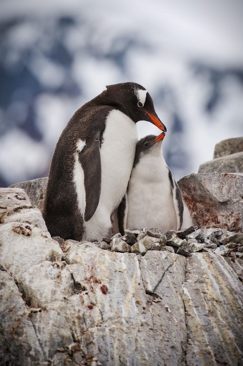 Squee Spree: Penguin Kisses