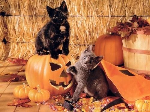 Cats,kitten,cyoot kitteh of teh day,halloween,pumpkins,hay,candy,jack o lanterns,holidays