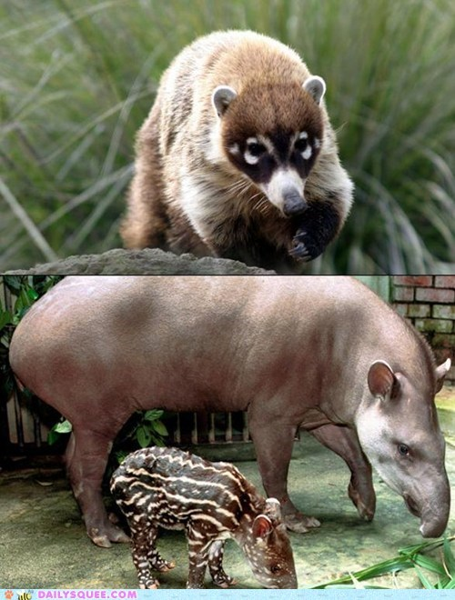 Squee Spree: Coati vs. Tapir