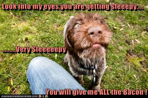 Look into my eyes,you are getting sleeepy.... .........Very Sleeeeepy  You will give me ALL the Bacon !