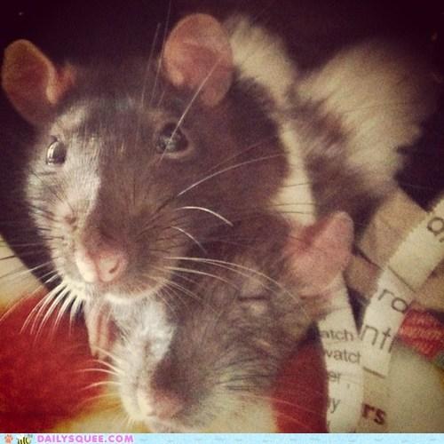 Rat Squish