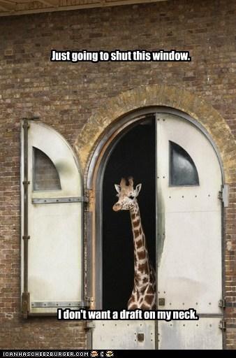 cold season,shut,cold,giraffes,draft,window