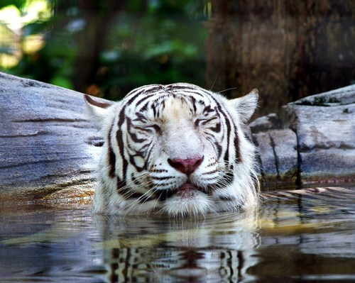 spa,tiger,relax,squee