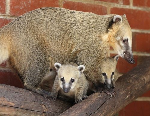 Babies,mama,mommy,coati,squee spree,squee