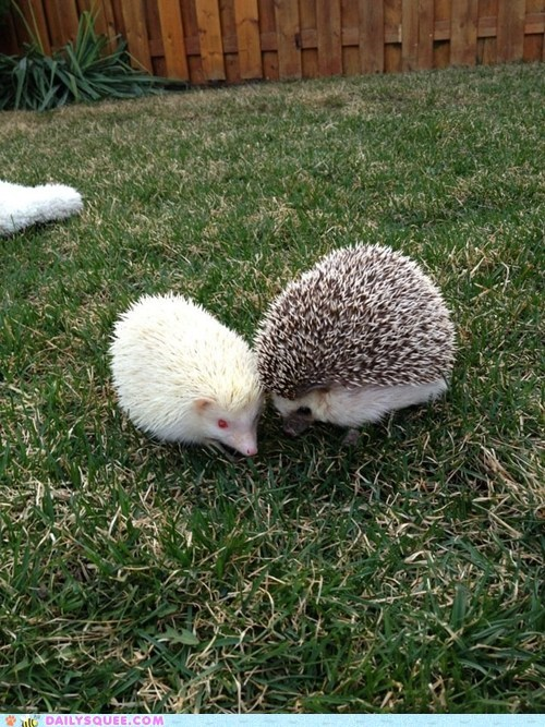 My hedgies Jessie and Zoey:)