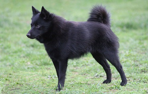 Goggie ob teh Week FACE OFF: Schipperke