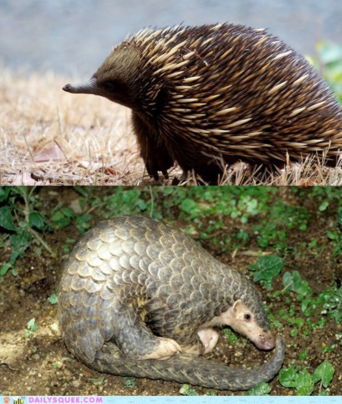 versus,Pangolin,face off,echidna,squee spree,squee