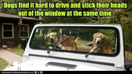 Dogs find it hard to drive and stick their heads out of the window at the same time.