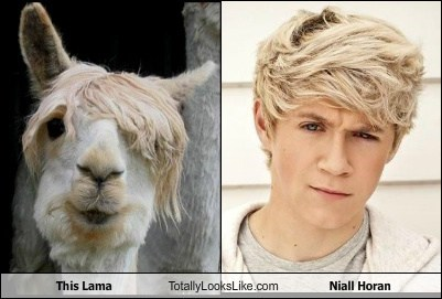 This Llama Totally Looks Like Niall Horan