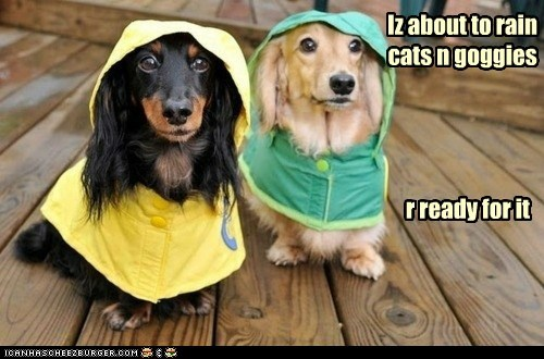 raincoat,dogs,deck,raining,dachshunds