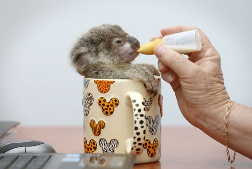 Cup of Koala