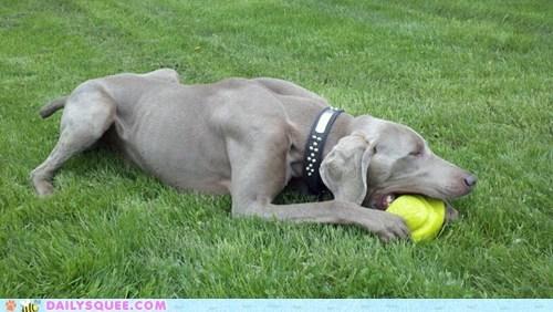 dogs,reader squee,pets,ball,grass,weimaraner,squee