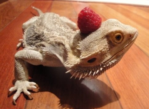 raspberry,reader squee,bearded dragon,pet,lizard,squee,fruit