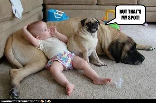 dogs,baby,sharing,pug,my spot,mastiff