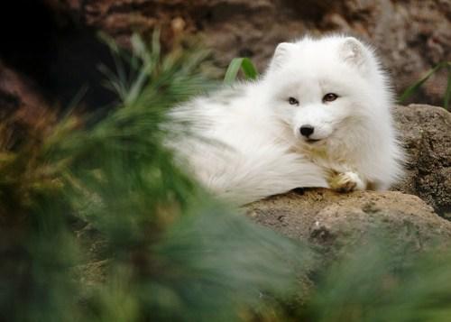 Pine Forest Fox