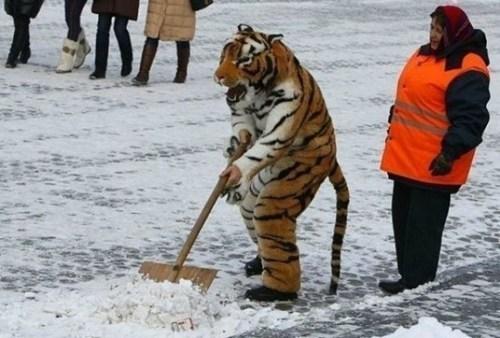 janitor,tiger,snow shoveling