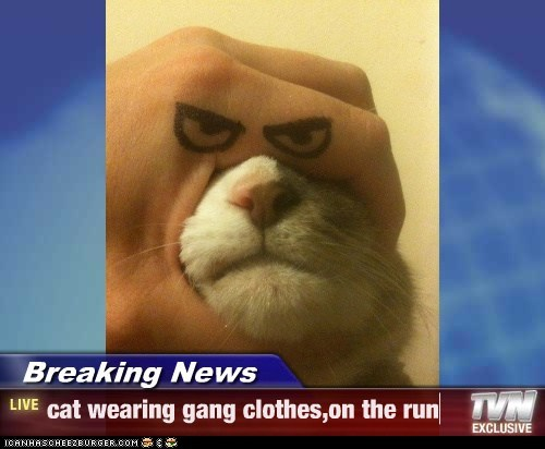 Breaking News - cat wearing gang clothes,on the run