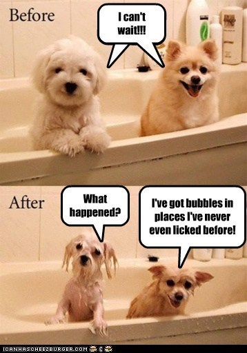 before and afetr,pomeranian,wet,dogs,lhasa apso,bath,bubbles