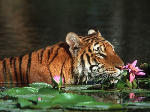 smelling,tiger lily,swimming,lily,tiger,wild cats,big cats,squee