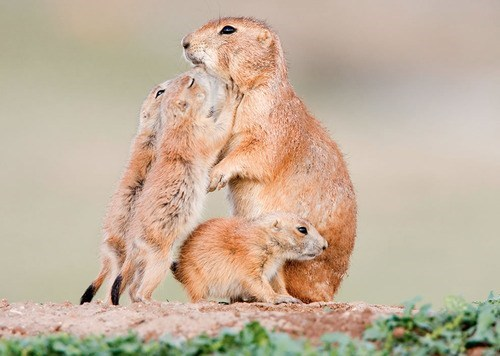 Babies,hungry,prarie dogs,mommy,feeding,squee