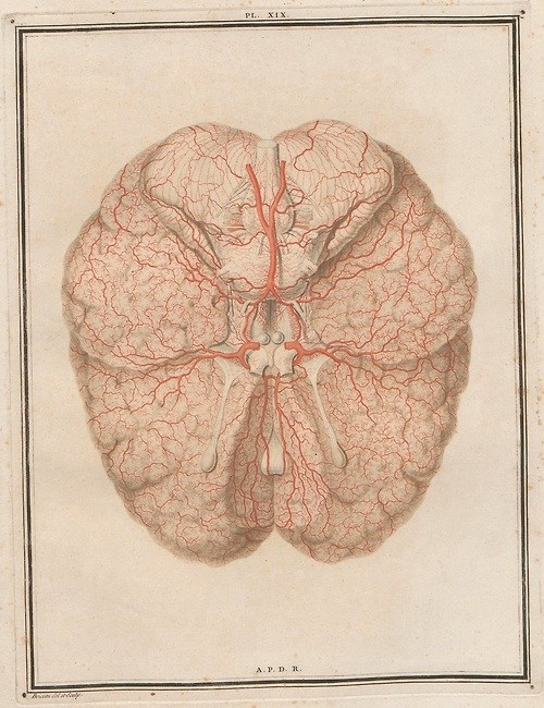 Félix Vicq D'Azyr's Drawing of the Brain in 1786