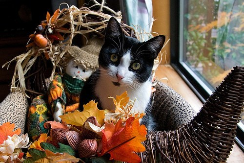 Thanksgiving Kitteh of teh Day: Catucopia