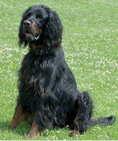 Goggie ob teh Week FACE OFF: Gordon Setter