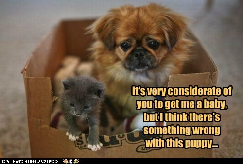 dogs,something is wrong,shih tzu,kitten,cardboard,weird