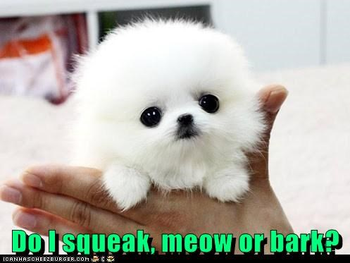 pomeranian,dogs,fluffball,puppies,kitten,what is it,what breed,mouse