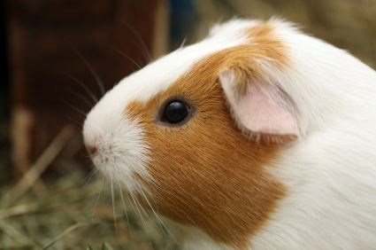 Squee Spree: Guinea Pigs Win!