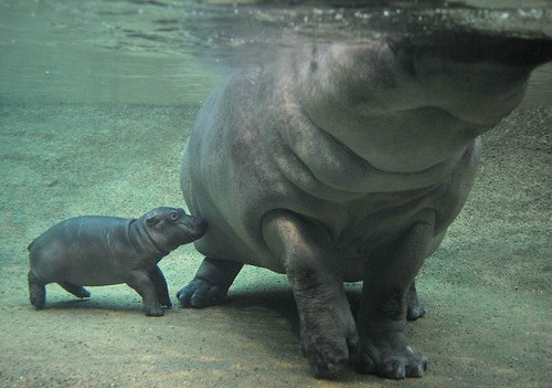 Baby Hippo Would Like Mom's Attention