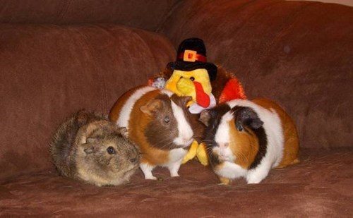 guinea pigs,thanksgiving,squee spree,squee