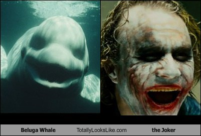 Beluga Whale Totally Looks Like Heath Ledger as The Joker