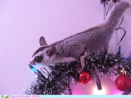 christmas,lights,reader squee,pets,sugar glider,squee,holidays