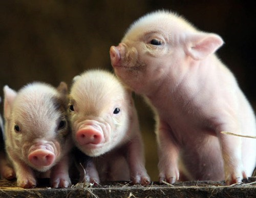 The Three Widdle Pigs